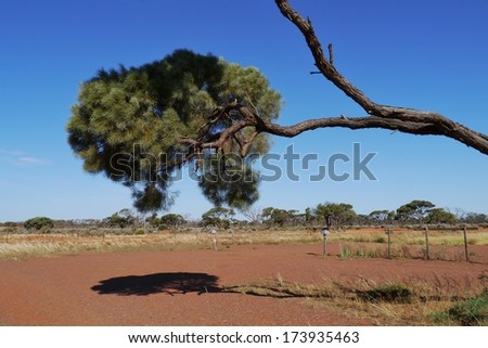 Allocasuarina decaisneana or desert oak in  the outback of Australia