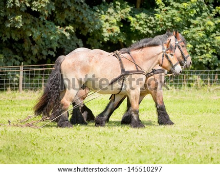 ALMERE - JULY 7: Belgian draft horses participate in the annual Horse & Outdoor horse show, held on July 7, 2013 in Almere, The Netherlands