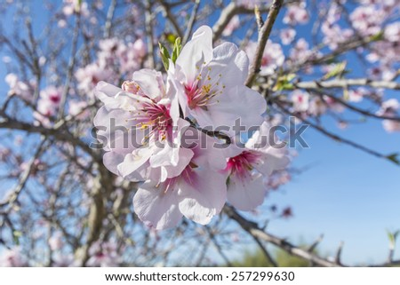 Almond bloom in spring, in a sunny day - stock photo