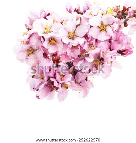 almond blossoms. almond tree pink flowers close-up with branch isolated on white background.