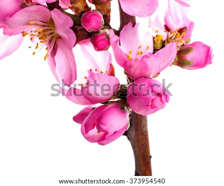 almond blossoms. almond tree pink flowers close-up with branch isolated on white background. - stock photo