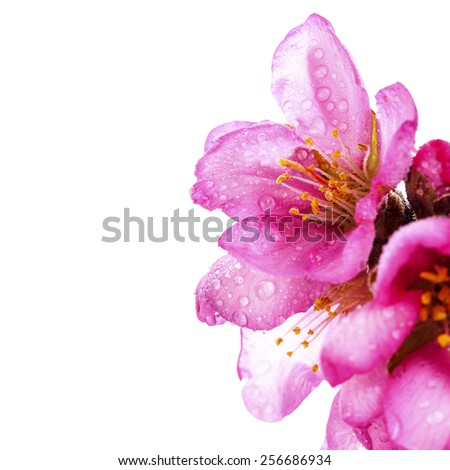 almond blossoms. almond tree pink flowers close-up with branch with water drops  isolated on white background. - stock photo
