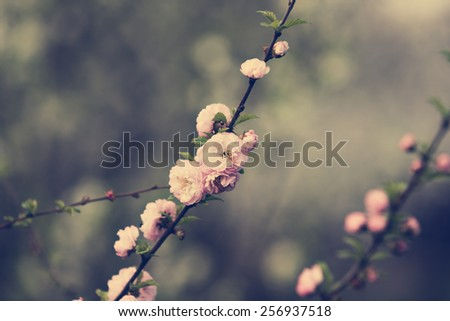 almond blossoms. spring - stock photo