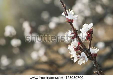 almond flowers - stock photo