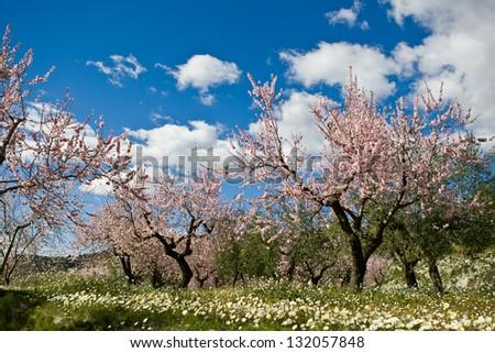 Almond orchard in blossom, Alicante , Spain - stock photo