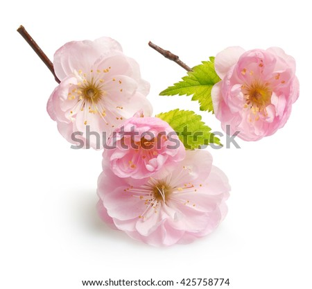 Almond pink flowers isolated on white background - stock photo