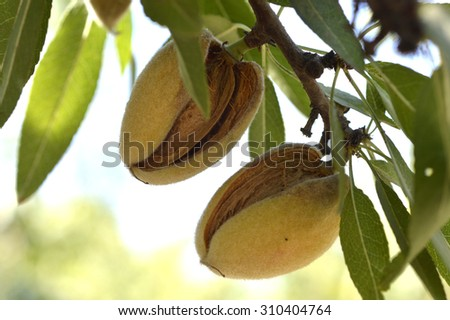 Almond tree beautiful tree with ripe fruits. - stock photo
