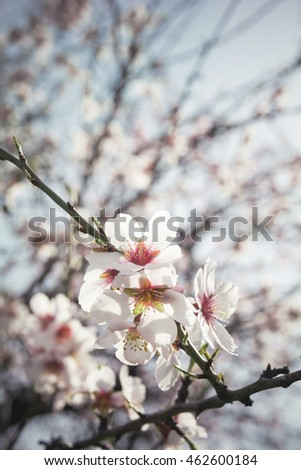 Almond tree branch in bloom - Almond flower blossom - Springtime - Japanese ceremony of enjoying the transient beauty of flowers