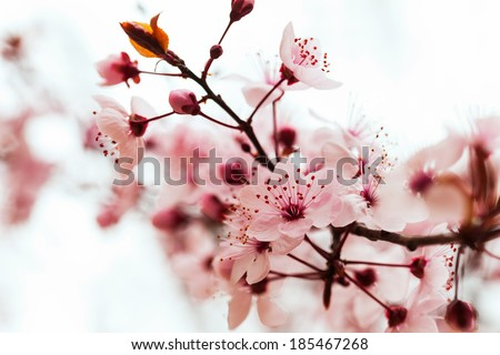 almond tree  branch in spring   - stock photo