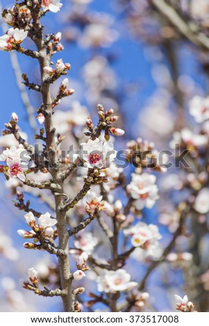 almond tree flowers , blue sky ,  spring - stock photo