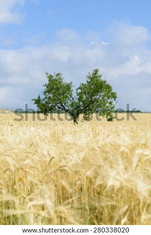 Almond tree in between of a gold field of wheat against blue sky in Andalusia - stock photo