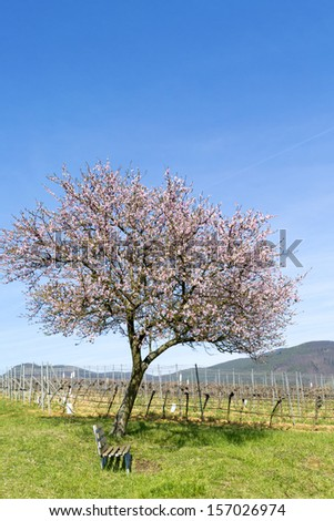 almond tree in south palatine, germany