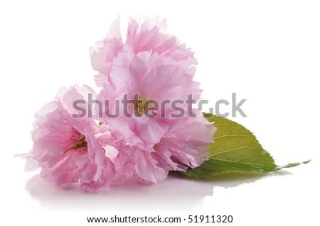 almond tree pink flowers - stock photo