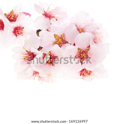 almond tree pink flowers close-up   isolated on white background.