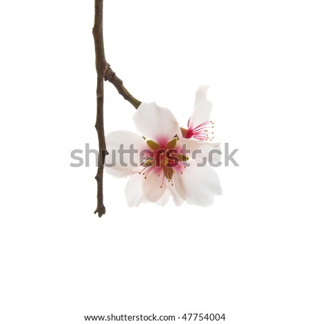 Almond tree pink flowers isolated on white. - stock photo