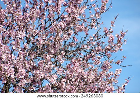 almond tree pink flowers on blue sky - stock photo
