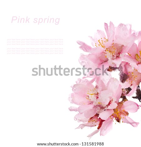 almond tree pink flowers snowy close-up isolated on white background.