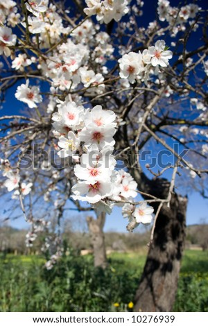 Almond tree with blossom. - stock photo