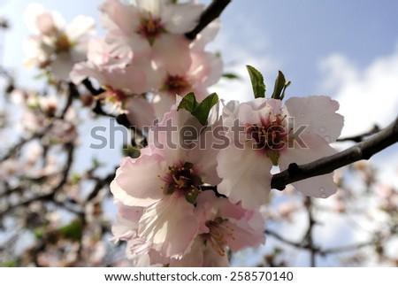 Almond trees spring flowering. - stock photo