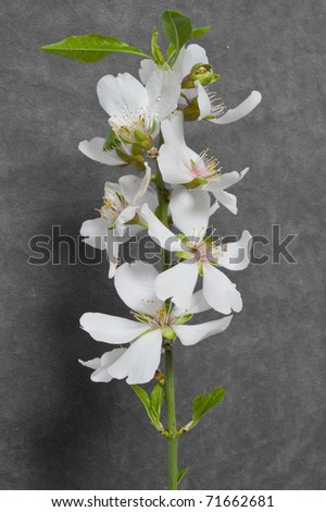 almonds blossom on grey background