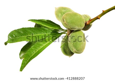 Almonds fruits on a branch. Isolated on a white background