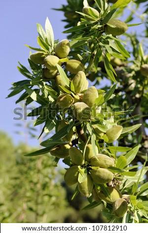 Almonds on the tree - stock photo
