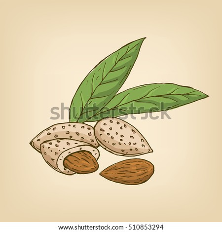 Almonds with kernels and leaves. illustration. Hand drawn illustration.