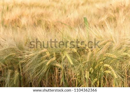 Almost ripe wheat in a field.