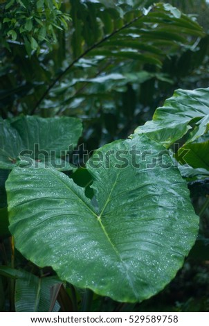 Alocasia leaf - rain forest plants - vegetation of tropical forest