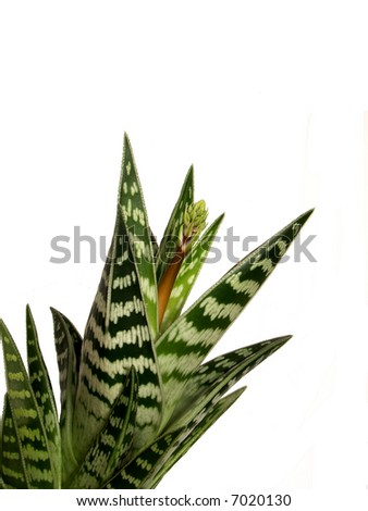 Aloe - stock photo