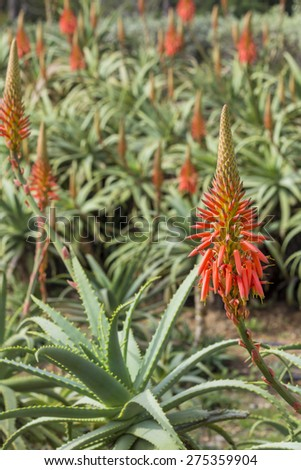 Aloe arborescens, a species of flowering succulent perennial plant in the Aloe genus. Endemic to the south eastern Southern Africa. Popular as ornamental low-maintenance plant and medical uses - stock photo