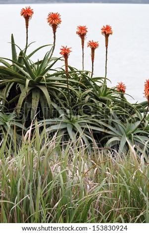 aloe arborescens flowering beyond native grasses in moreton bay nature reserve - stock photo