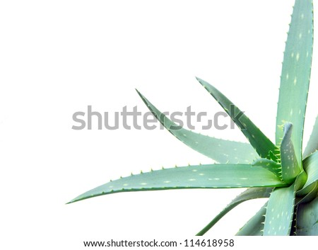 aloe leaves isolated on a white background