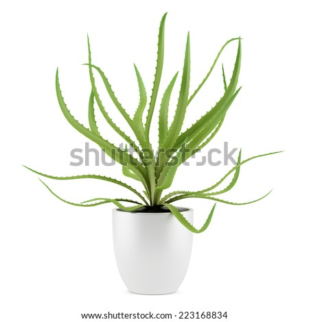 aloe plant in pot isolated on white background - stock photo
