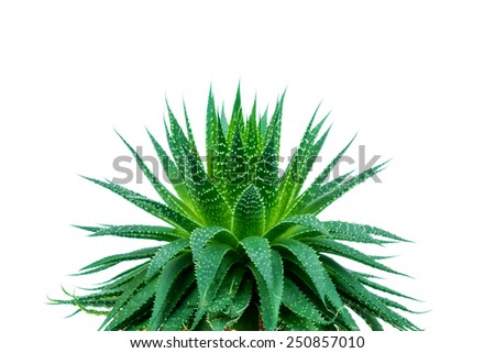 Aloe plant on white background - stock photo