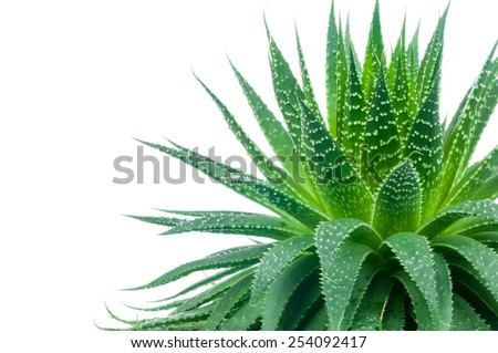 Aloe plant on white background