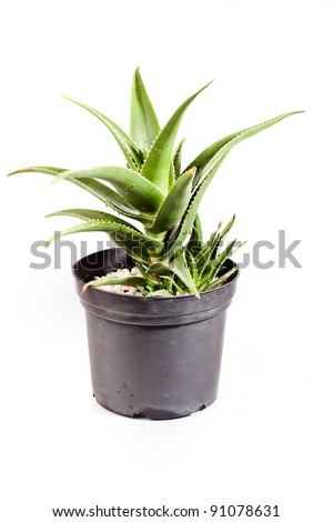 aloe plant , on white background