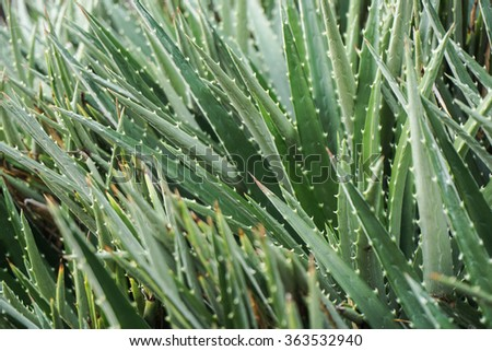 Aloe vera bush - stock photo