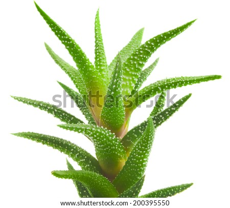 aloe vera fresh leaf. - stock photo