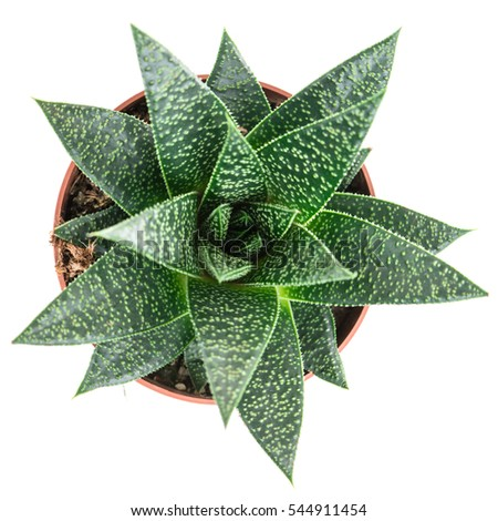 how to grow aloe vera in a pot