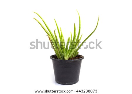 Aloe vera in pot on white background