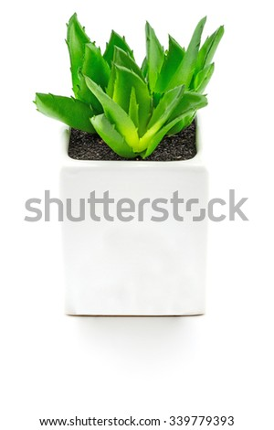 Aloe vera. In small white pots on white background.