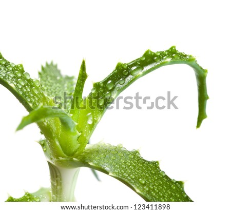 aloe vera in the drops of dew isolated on white background - stock photo