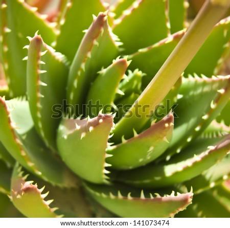Aloe vera leaves - stock photo