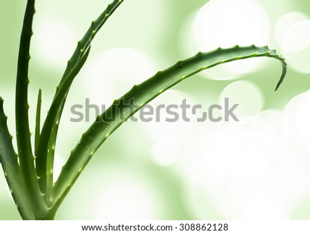 aloe vera leaves detailed, isolated against colorful green and white studio background - stock photo