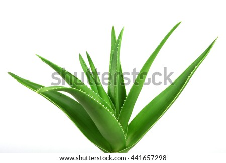 Aloe Vera On White Background. - stock photo