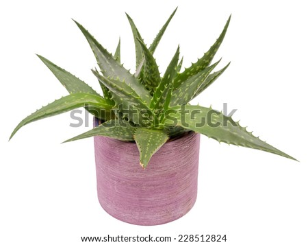 Aloe vera plant in purple flower pot isolated on white - stock photo