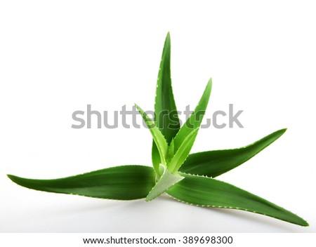 Aloe vera plant isolated on white. - stock photo