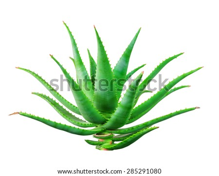 Aloe vera plant isolated on white background - stock photo
