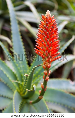 Aloe Vera plant with a red flower. Small depth of field. Out of focus background. - stock photo